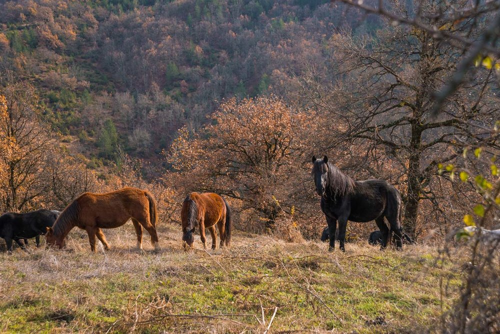 Wild horses of Grevena
