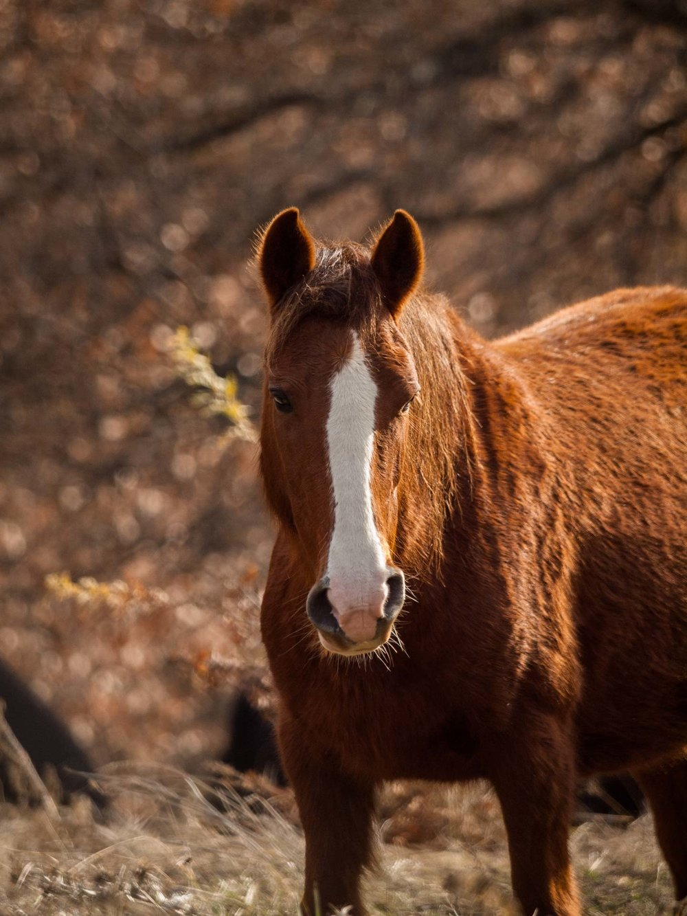 Close-up of a brown, wild horse