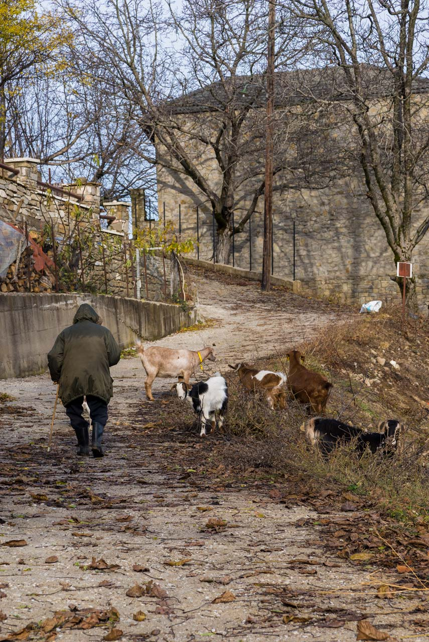 Grandpa Euthimis takes his small herd of 5 goats around the village so the animals can feed on fresh grass.
