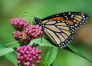 Image: Milkweed Monarch Victor R Quintanilla-Blog