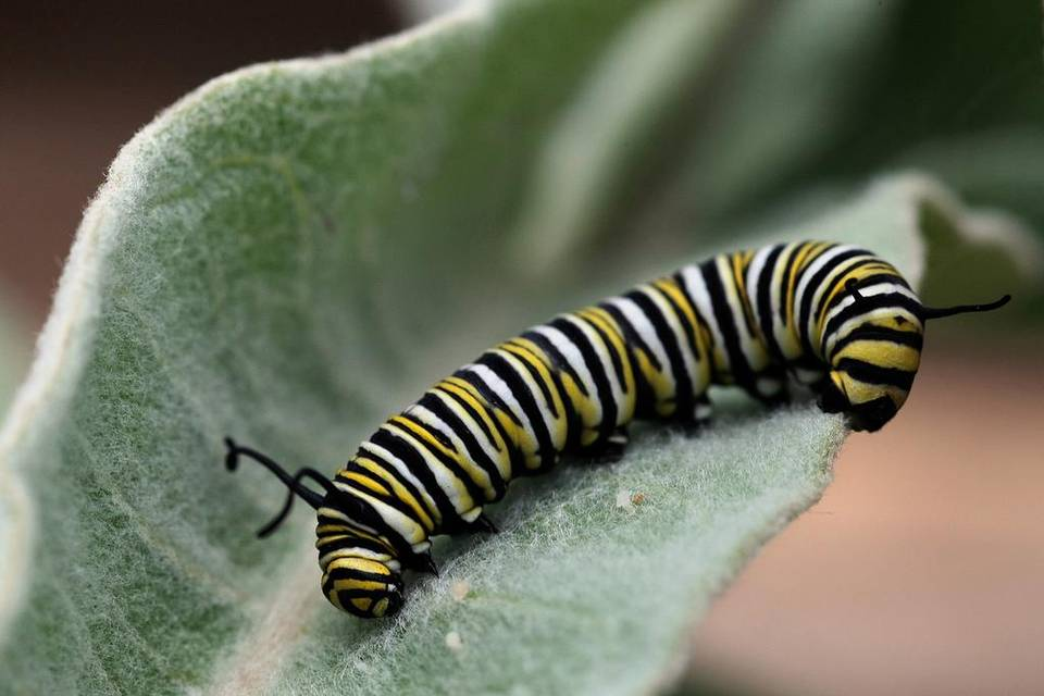 A monarch caterpillar sits on a milkweed plant. | GARY FRIEDMAN FILE PHOTO
