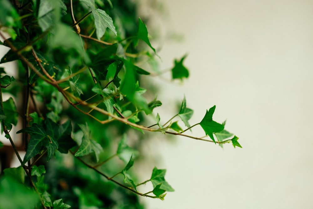 """English Ivy - """"English Ivy, the evergreen climbing vine that is most commonly found outside, can substantially reduce the amount of mold in the air of your home, according to research presented to the American College of Allergy, Asthma & Immunology a few years ago."""" -Allergy&Air"""