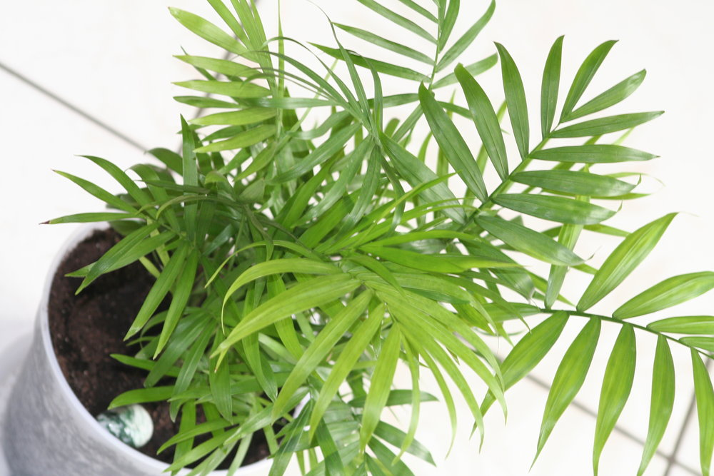 """Bamboo Palm - """"Ranked third all-around for keeping room air clean, including removing formaldehyde. (Keep in mind, it) needs a lot of room to grow."""" -Mighty Nest"""