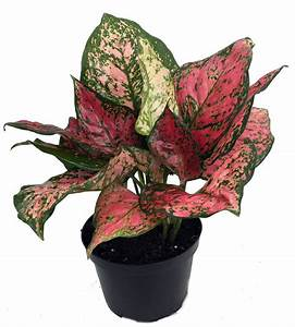 """Chinese Evergreen - """"The Chinese evergreen is a great choice if you have low light conditions; it tolerates lower light than most other houseplants and is easy to grow."""" - SFGate"""