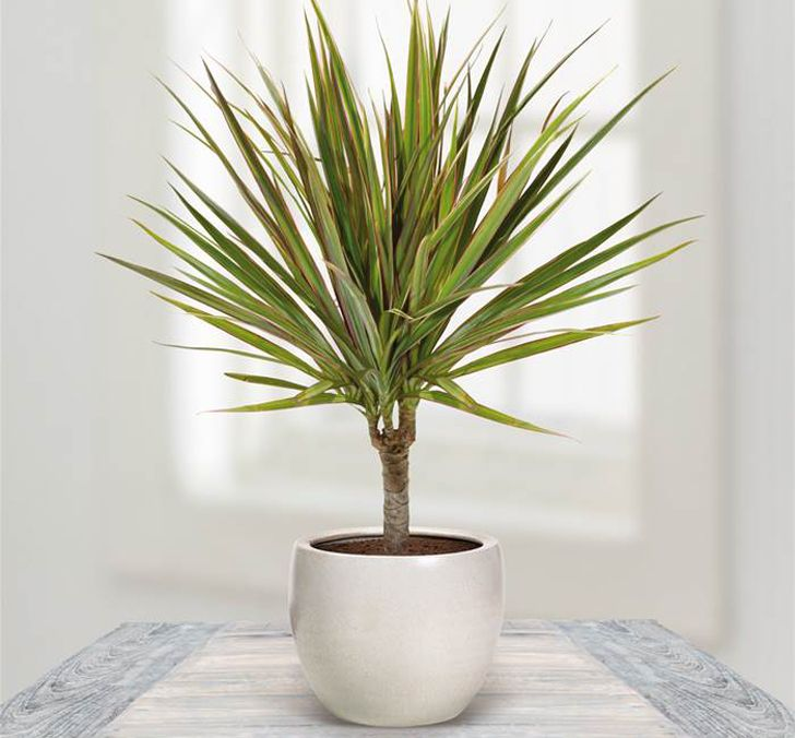 """Dragon Tree - """"The Dragon Tree is a popular indoor air purifier plant, sighted in many office lobbies, entrance-ways and atriums. The Dragon tree is among the best for removing xylene and trichloroethylene from indoor air. """" -IndoorAirQualityPlants"""