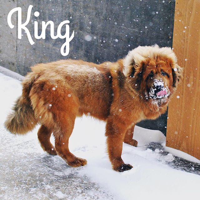 King the Tibetan Mastiff is a wonderful puppy in training... I wish I could have him for my own 😻 he's up for adoption. Russian Import & professionally trained, best suited to a very experienced dog owner. Has high grooming and tummy needs 😋💕 . . . . . . . . . . . . . . . . . . . . #northdakotalife #northdakota #fargonorthdakota #northdakotaphotography #willistonnd #bismarck #bismarcknd #tibetanmastiff #mastiffpuppy #mastiffgram #mastifflovers