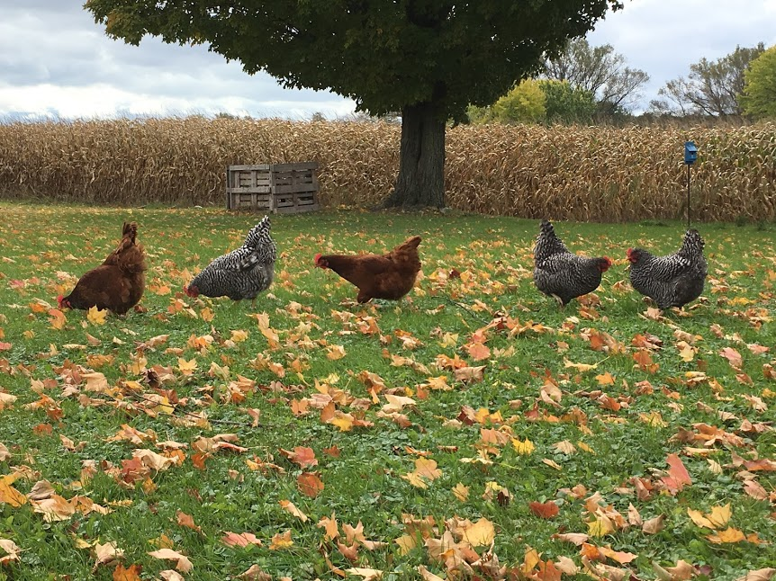 Chicken Butt Fall 2.jpg