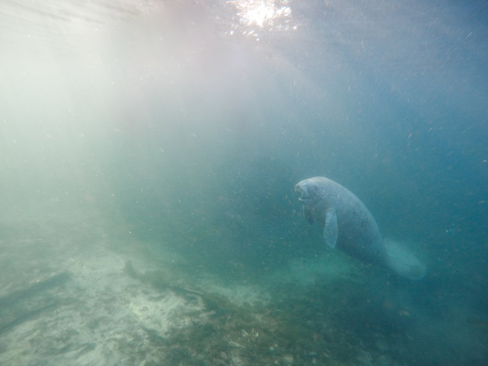 Swimming with Manatees | The Whitefeather Journal