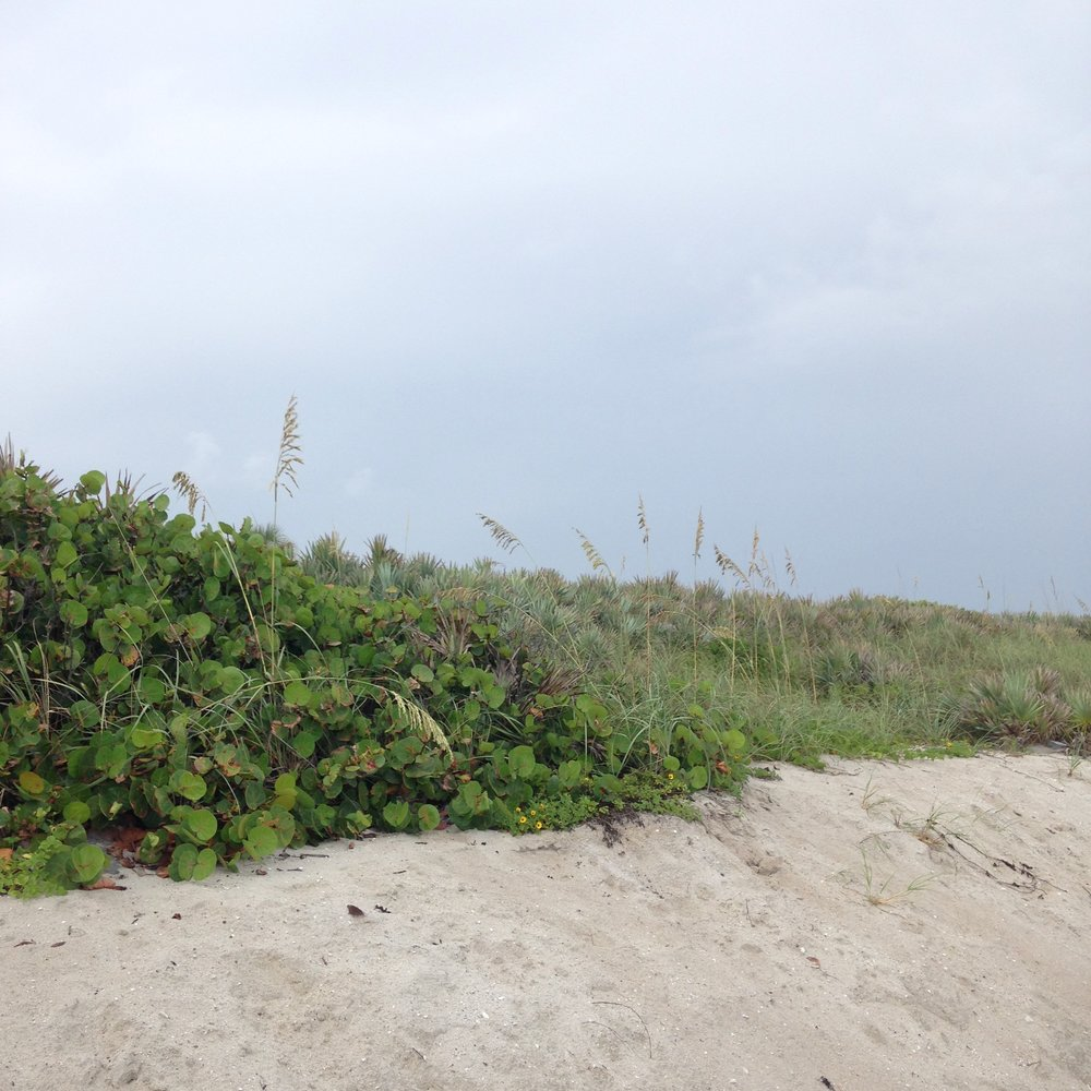 Dune habitat at Coconut Point in Melbourne, Florida.