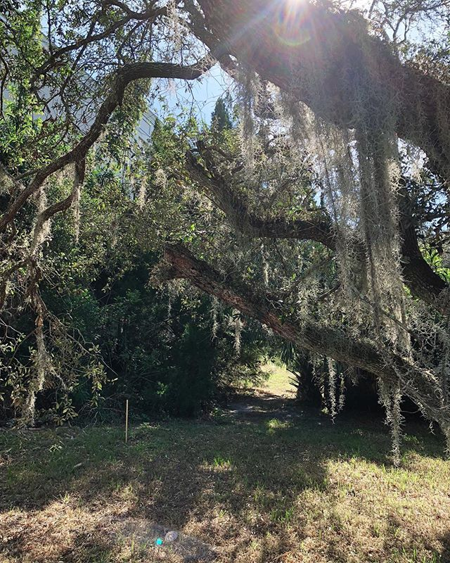 Photo from an #eastwilburliveworks site visit a few weeks ago. Happy to be saving several, old-growth live oaks here.