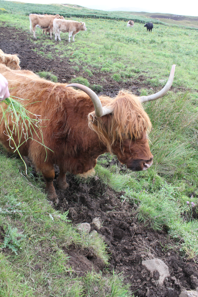 hairy-coo-scotland travel photo pritishsocial.jpg