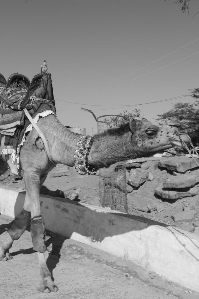 camel-rann-of-kutch-gujarat-holiday-travel-photo-pritishsocial.jpg