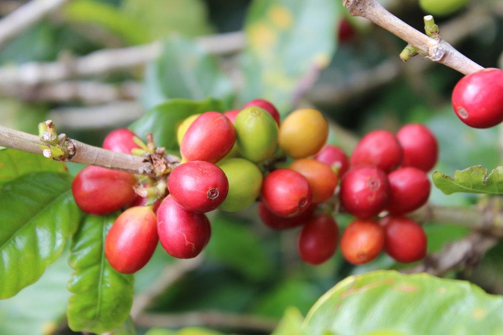 coffee_cherry.JPG