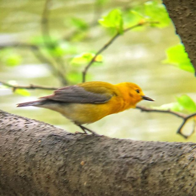 Prothonotary Warbler gets its creep on. #prothonotarywarbler #brooklynbirding #yellowgold