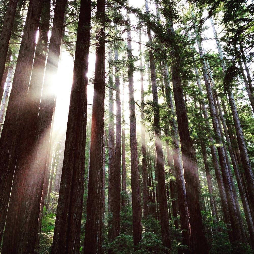 redwoods-1455738.jpg