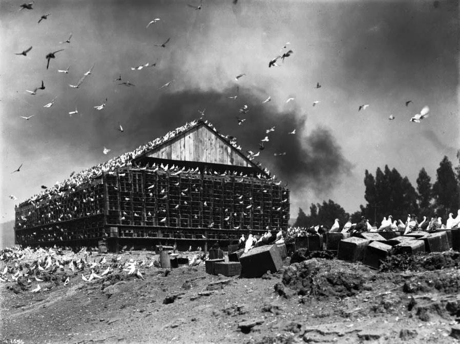 13. Pigeon Farm, ca. 1900