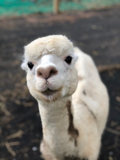 EON Taylormade - Taylor, who's mom is Hadassah is the dam of one of our newest cria, Everest. While Taylor is short in stature, she makes up for that with her personality and her heavy fleece.