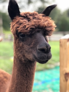 Irish Meadows Emily - Emily is a 3 year old alpaca that arrived at the farm from Iowa. Emily is currently pregnant and we are anxious to see what her cria will be like this year.