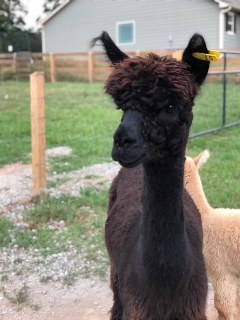 Irish MeadowsClaire - Claire is Skye's mom and the last of the new female alpacas we brought down from Iowa.