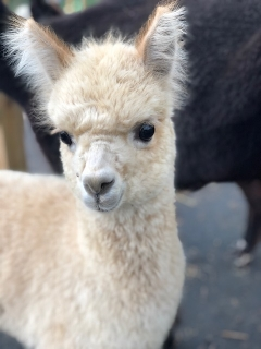 SF's Skye - Skye is an absolute doll, just take a look at that face. Skye's fleece is incredibly soft and crimpy and we are beyond excited to see how she matures