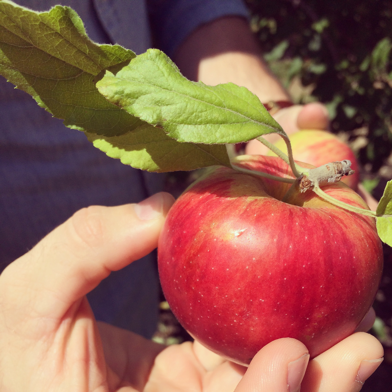 AppleOrchard3