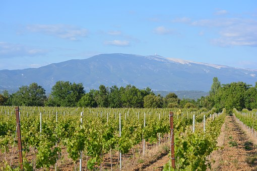 Ventoux Vineyard with Mont Ventoux in the background