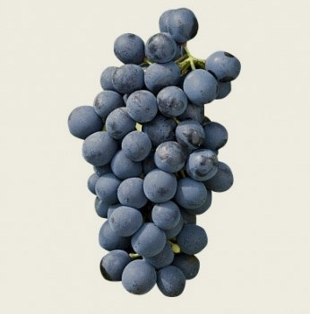 Syrah - one of the two important reds of Ventoux