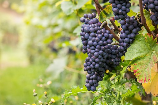 Pinot Noir - a grape the Okanagan does exceptionally well
