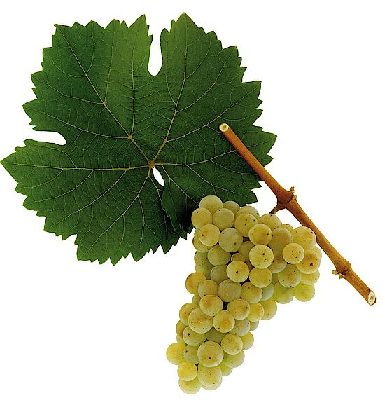 Riesling grapes - spot the difference
