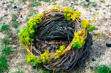 Imagine the challenges of cultivating these vines that cling to the barren rock of Santorini