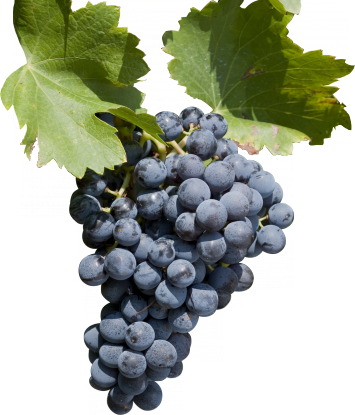 Grenache for red fruit character and herbal notes