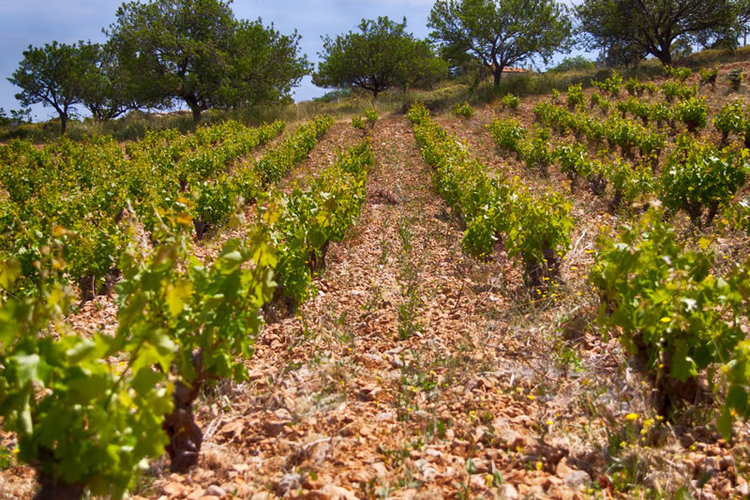 Bush vine training is typical for Attica due to the small plots and lack of irrigation