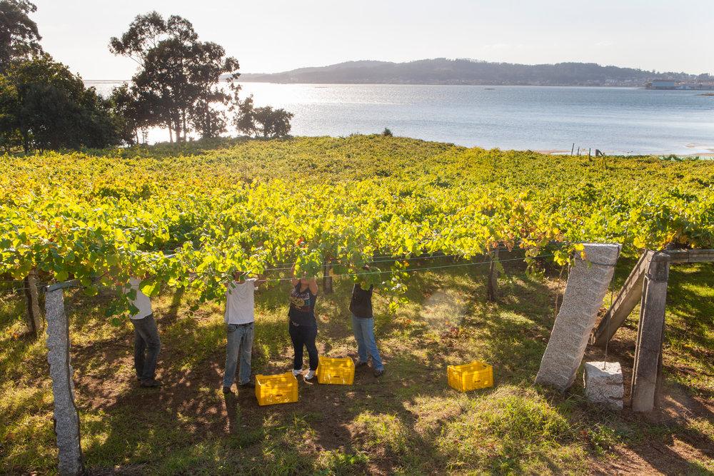Harvesting Albariño under the famous pergola - hard work on the shoulders!
