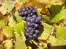 Pinot noir - some of Chile's best Pinots grow here