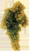 Loureiro grapes exhibit stone fruit character