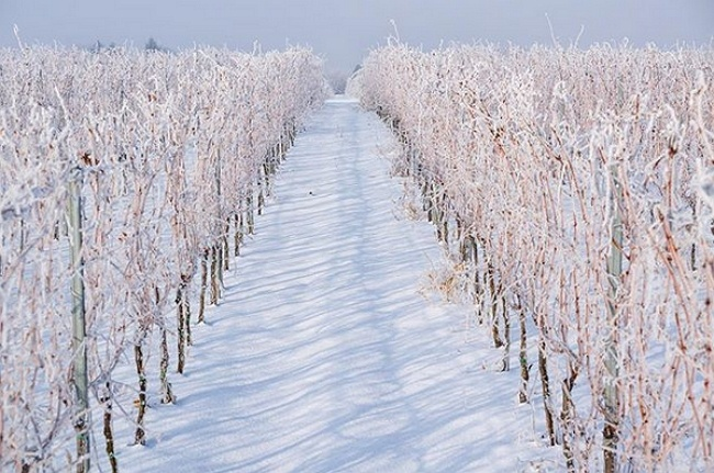 Slovakia's wine regions are definitely continental climate!