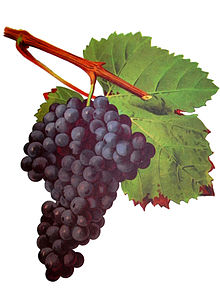 Tannat has found its place in Uruguay
