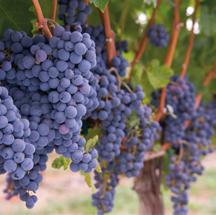 Turkey's indigenous Bogazkere grape