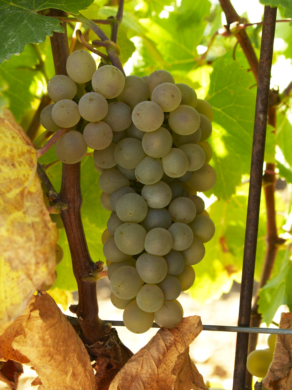 Verdejo grapes