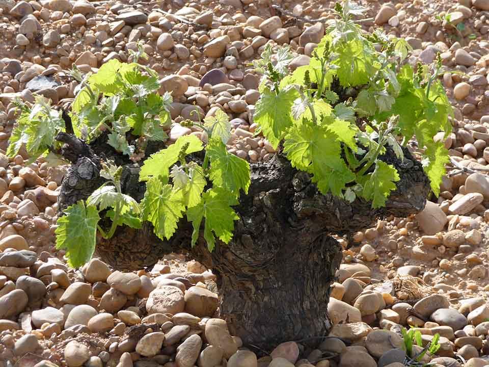 Verdejo often hunkers down in bush vines to resist the wind