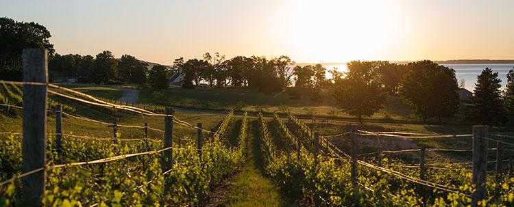 Mari Vineyard - Vines sloping down to the lake