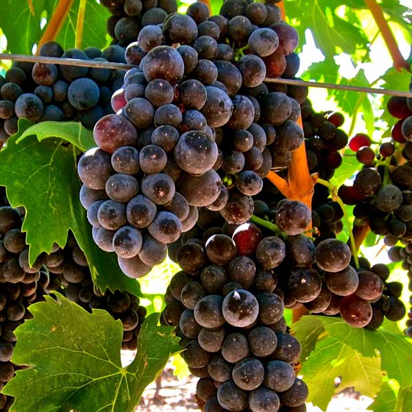 Aglianico is one of the original Falernum grapes