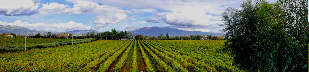 Villa Matilde Vineyard and the extinct volcano, Roccamonfina, in the background.  Roccamonfina contributed volcanic material to the calcareous ancient sea bottom soils to create the particular soils of the Caserta region