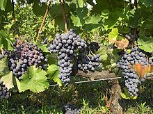 Xinomavro grapes and Naoussa are almost synonymous.