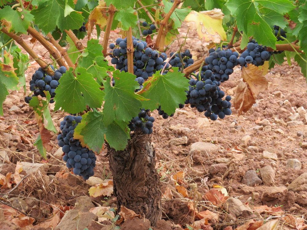 Garnacha (Grenache) bush vines at Palmeri Sicilia
