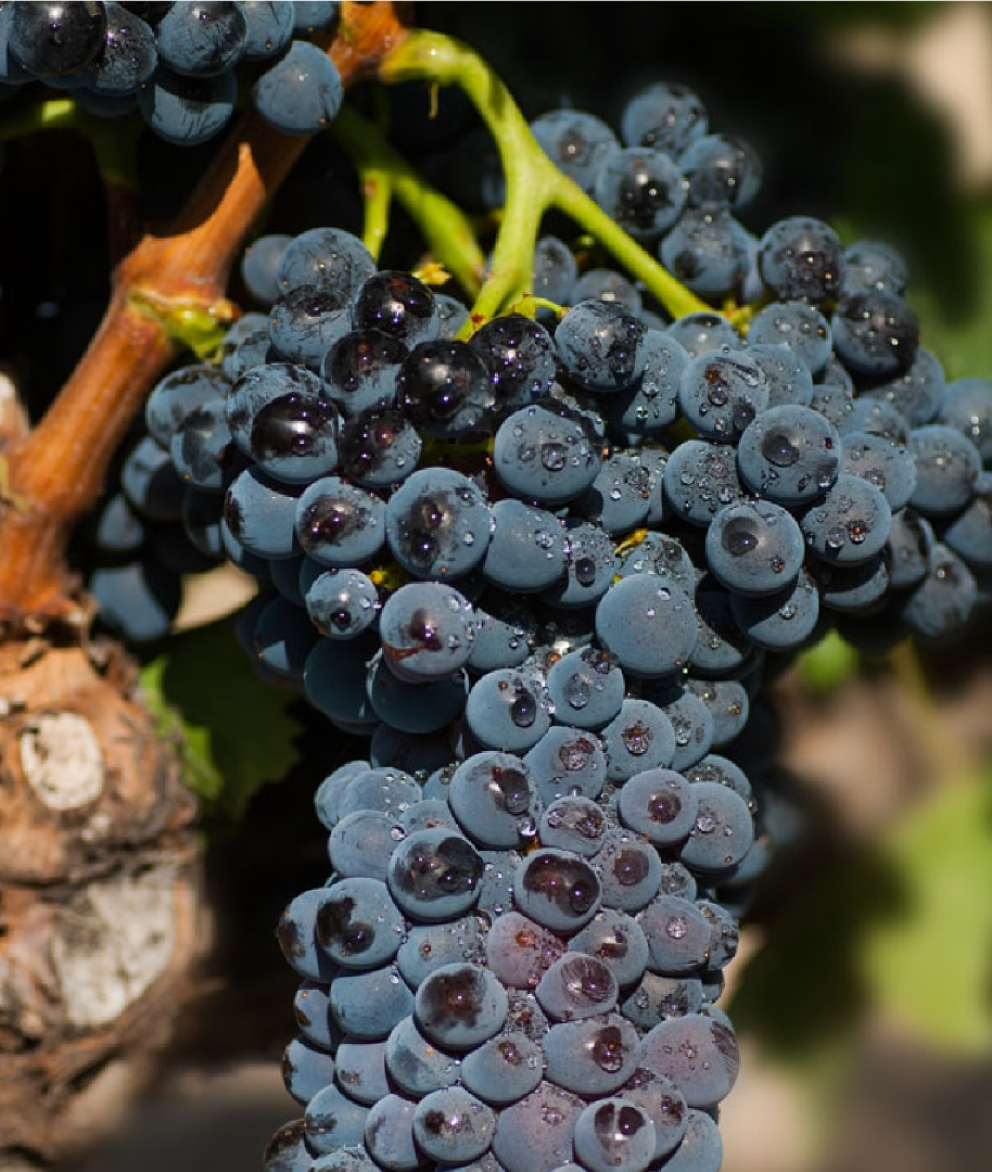 Garnacha grapes are not unique to Navarra but might be the best bet for defining Navarra's place in Spanish wine