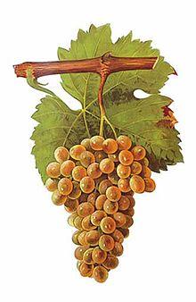 The Picpoul (Piquepoul) Blanc grape