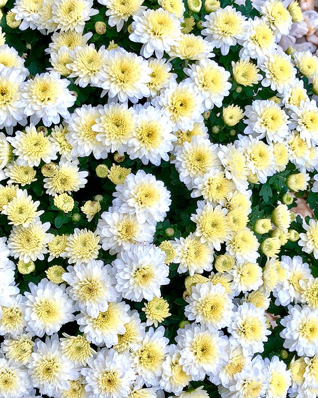 These white mums are so dreamy 😍 #growing #fallgarden #growyourown #gardenlife #prettyflowers