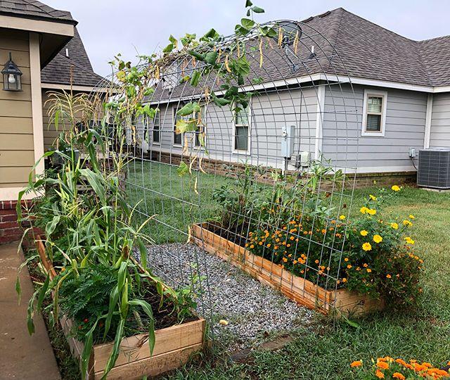 The corn and beans are loving the rainy, cooler days! #lovetogarden #gardeners #gardening #gardenlife #growfood #happygardener