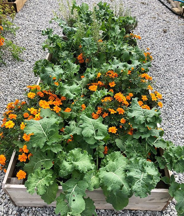 Kale and bright orange marigolds are two of my favorite combinations! The marigolds help deter pests so the kale can grow nice big leaves! Obviously the color pop is just a perk 😋 #growfood #gardening #organic #raisedbeds